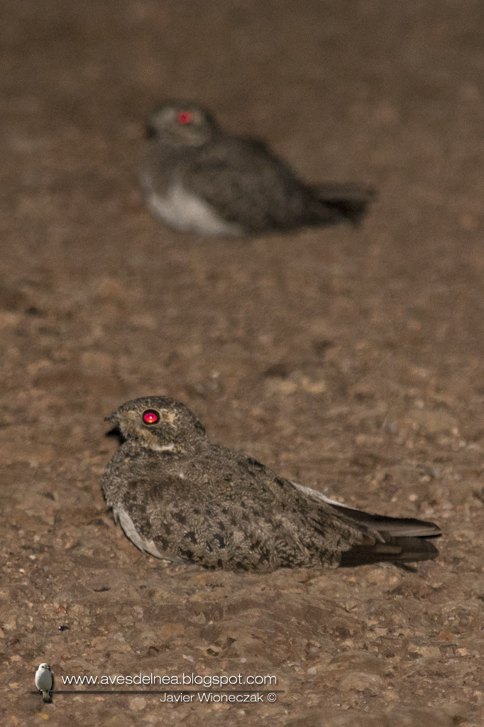Ñacundá (Nacunda Nighthawk) Chordeiles nacunda