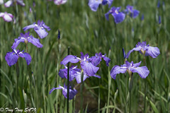 Prime time for iris flower in Koishikawa Korakuen