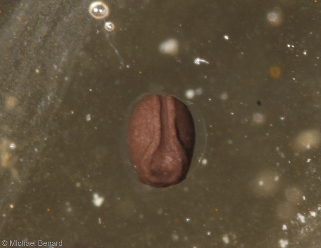 Bullfrog egg:  1 day old