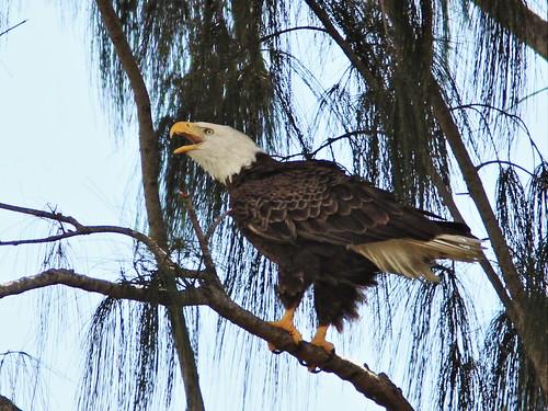 Bald Eagle calling 20140117