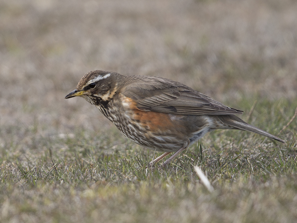 Redwing     Iceland