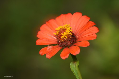 Flor de celia
