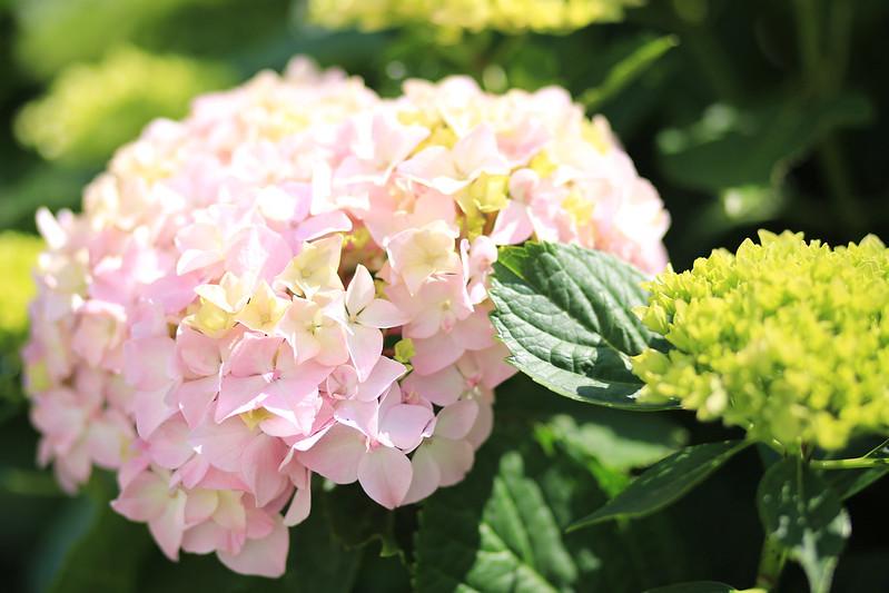 hortensia-rose-poudré
