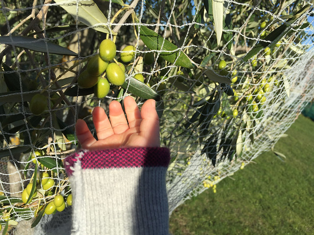 olive picking by baby hand