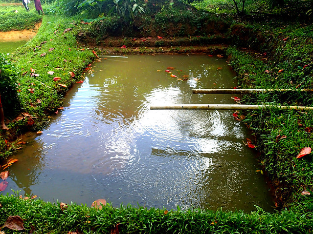 Tilapia pond, Solomon Islands. Photo by Sharon Suri, 2013.
