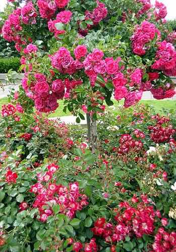 A rose tree in the UBC Rose Garden, Vancouver
