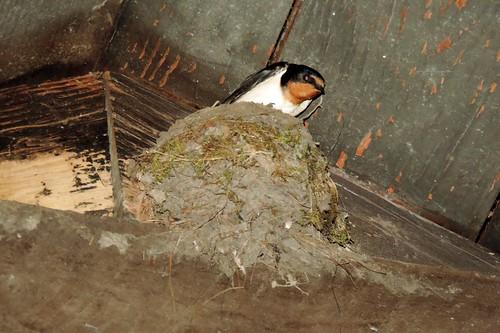 Barn Swallow #88