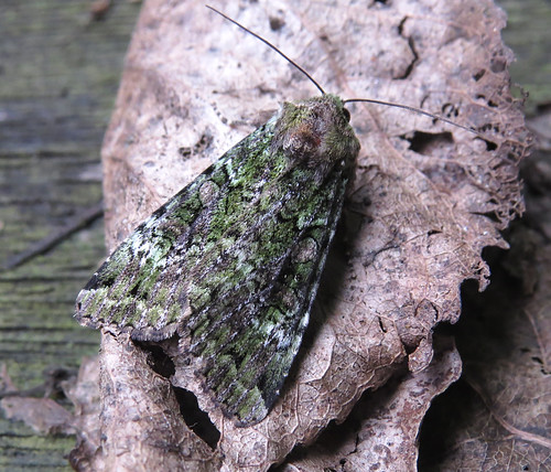 Green Arches Anaplectoides prasina Tophill Low NR, East Yorkshire June 2016