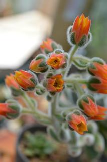 DSC_3350 Echeveria cv. Bombycina  エケベリア ボンビシナ (白閃冠)