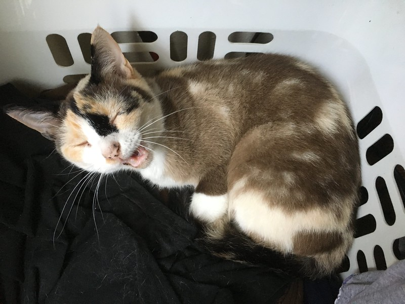 Laundry yawn cat
