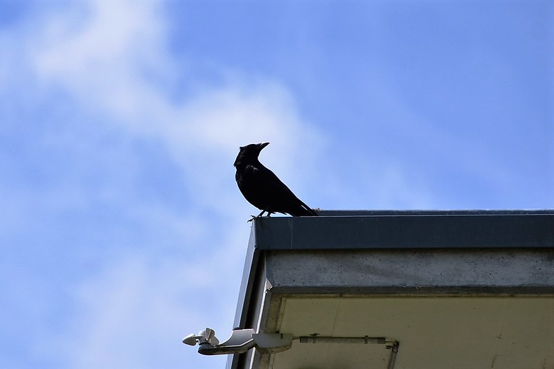 Crow on roof 20.06 (2)