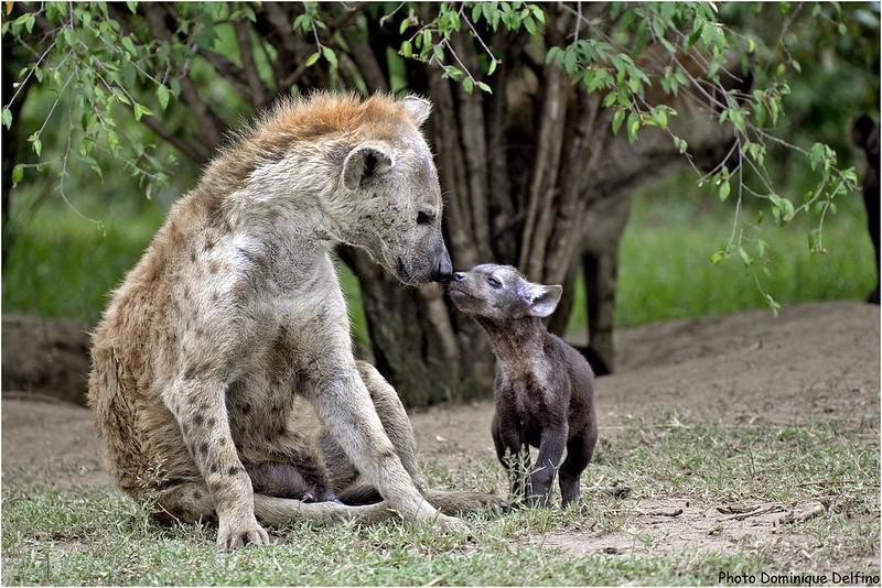 ~~La Hyène et son Bébé : PHOTO : Dominique Delfino~~