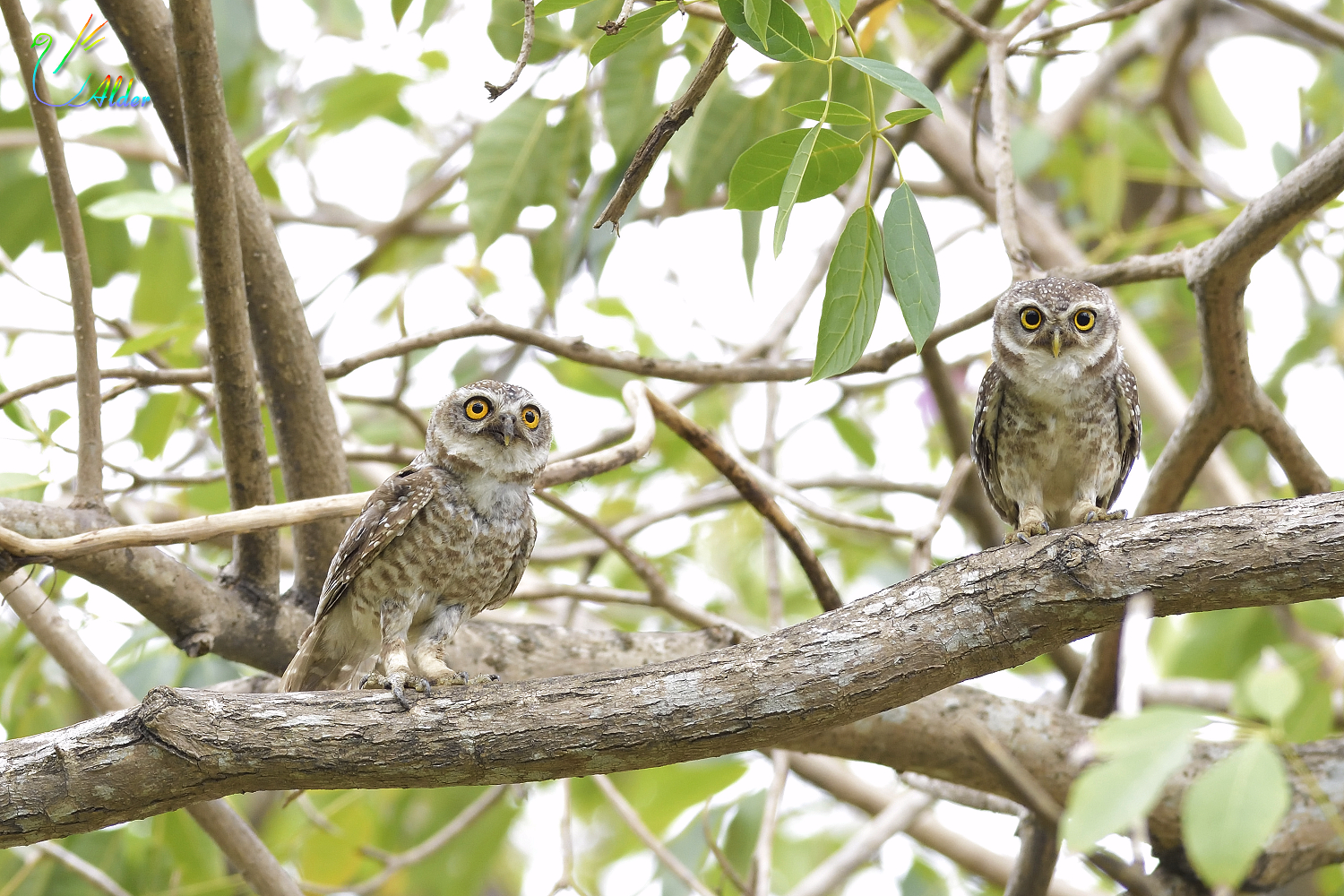 Spotted_Owlet_6000
