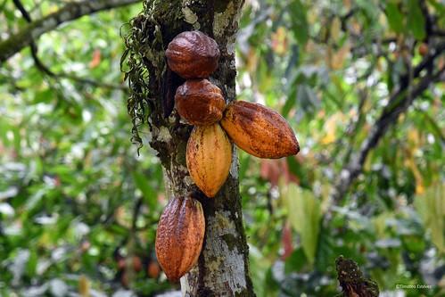 Tierra alta del cacao, el diviso  (1)