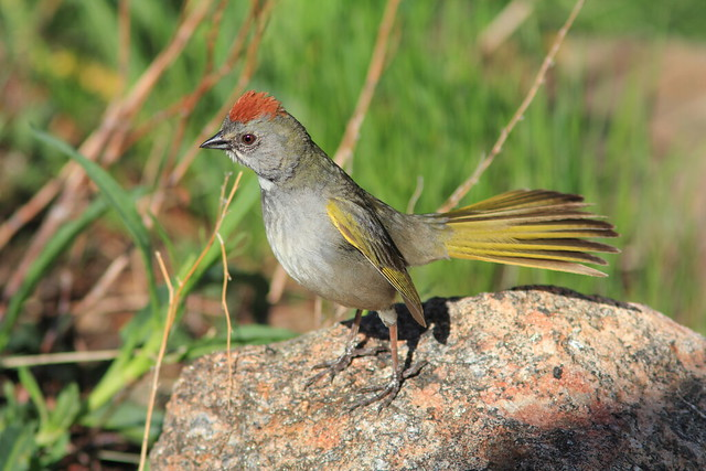 Green-tailed Towhee 07-20160612