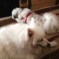 New buddies. Sam is slowly warming up to his new roomie. #dogstagram #eskie #shitzu #americaneskimodog