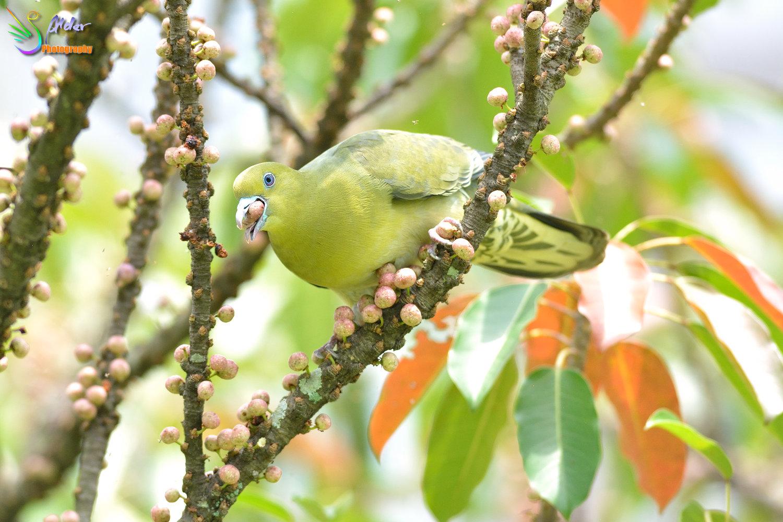 Japanese_Green_Pigeon_8584