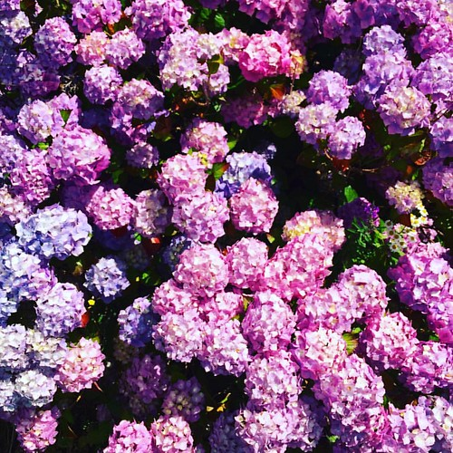 This hydrangea in our front yard is out of control! 💖💜🌸