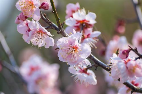 早咲きの梅 3