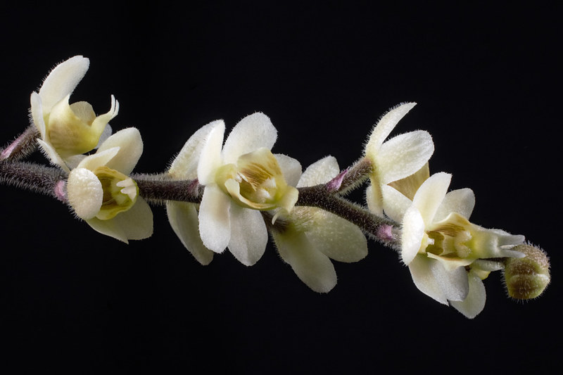 Chiloschista: Blattlose Orchideen  27177040683_c886fa24b2_c
