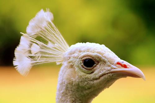 Leucistic Peacock