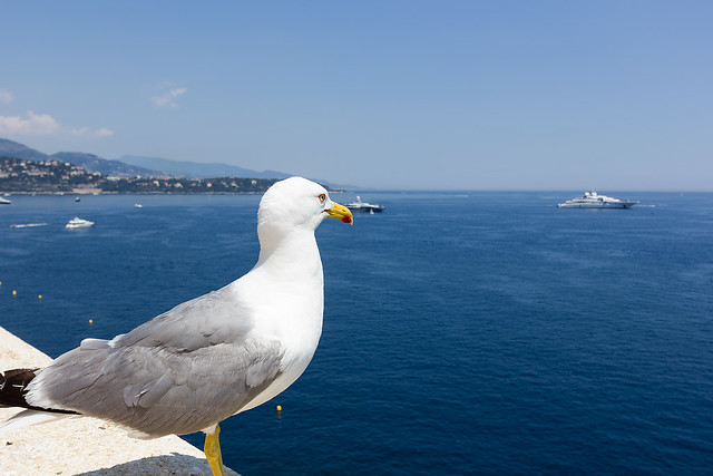 Seagull looking out over the sea at Monaco