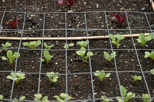 Vegetable Garden 2016  Radishes