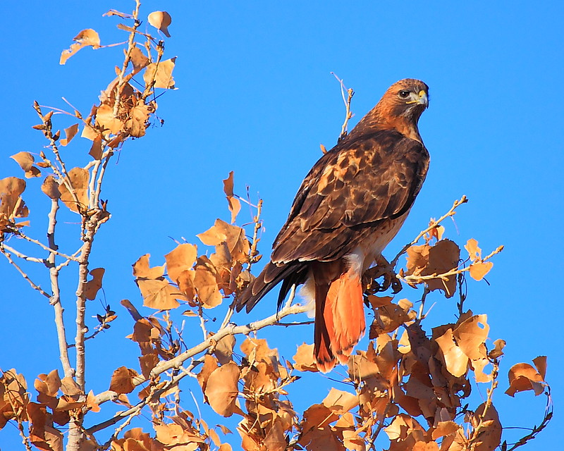 IMG_7745 Red-Tailed Hawk