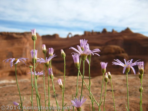 Wildflowers at the Upper Delicate Arch Overlook in Arches National Park, Utah