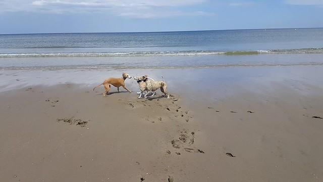 Animagis am Strand von Zuydcoote