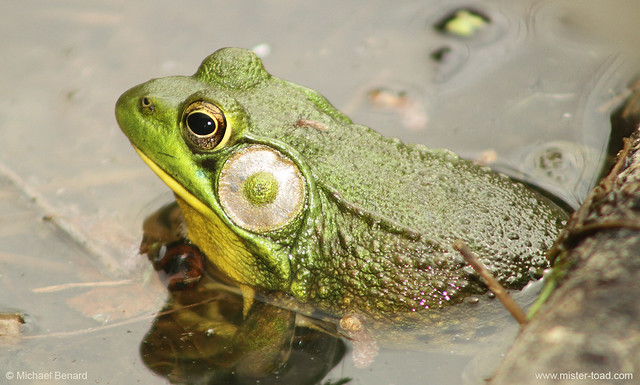 Male Greenfrog w/ Mosquito