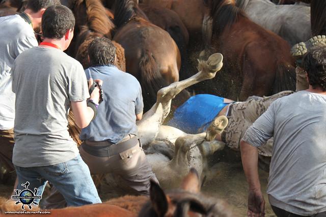 Rapa Das Bestas, Sabucedo. Galicia, España.