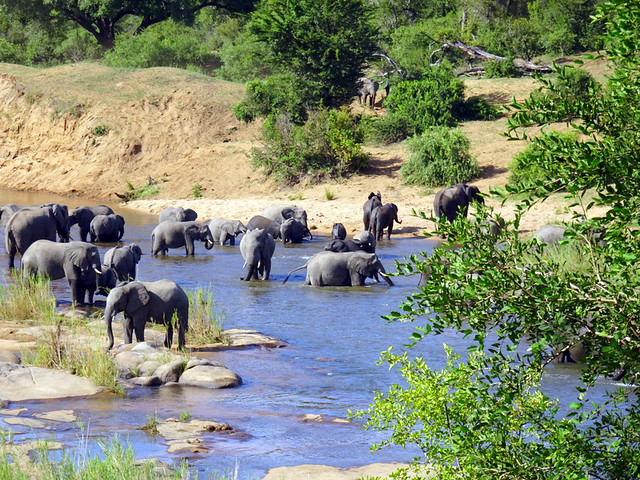 Lion Sands Safari Day 3- A herd of elephants cooling off in the Sabie River-001