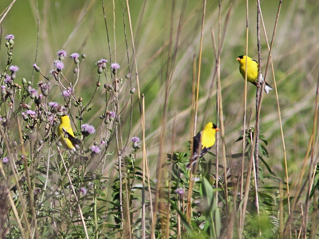 American Goldfinches 20160629