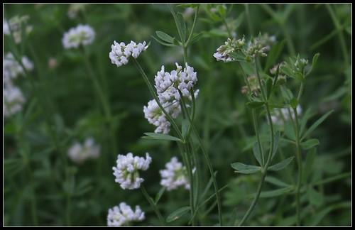 Dorycnium pentaphyllum (3)