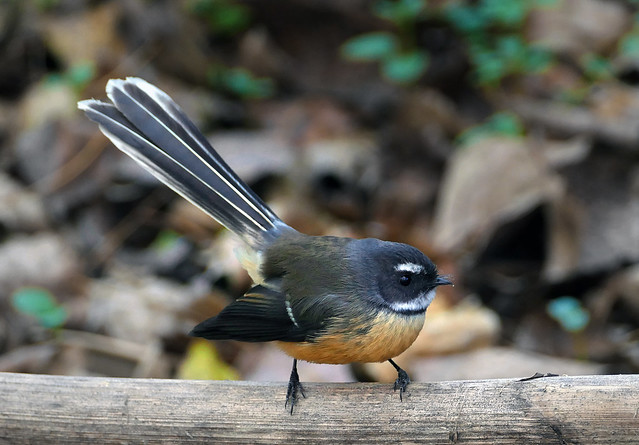 The New Zealand fantail (Rhipidura fuliginosa)