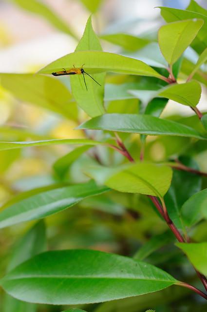 リンゴカミキリ [Oberea japonica]...