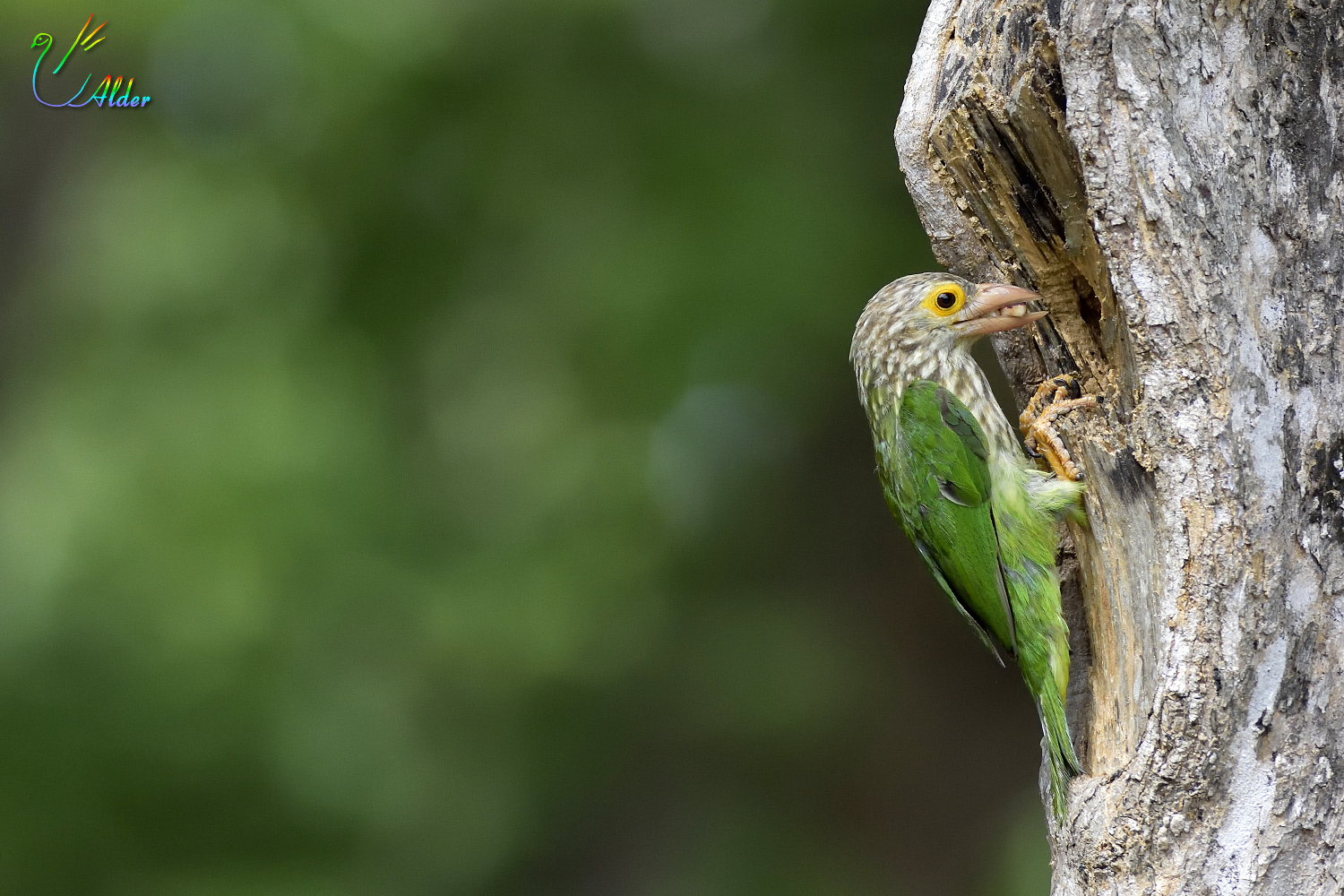 Lineated_Barbet_6469