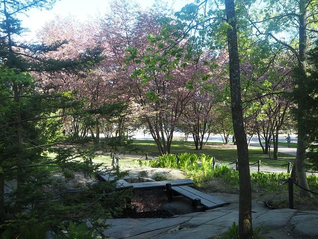 kirsikkapuistoP5125015,japanesestylegardenP5124841,cherryblossomP5124847, cherry blossom, kirsikkapuu, kirsikan kukka, helsinki, roihuvuori, finland, suomi, hanami, helsinki tips, cherry park, japanese style garden, cherry tree park, cherry park, cherry trees, kirsikankukka puu, blooming, kukkia, vaaleanpunainen, pinkki, kukka, flower, cherry blossom helsinki, blue sky, sininen taivas, may, toukokuu, kesä, summer, kevät, spring, suomi, cherry woods, kirisikkapuisto, roihuvuori, japanilaistyylinen puutarha,