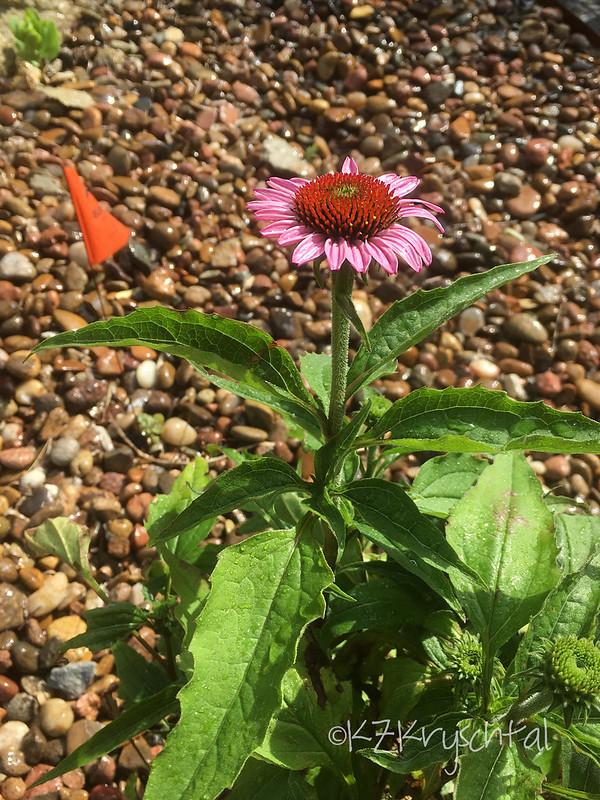 IMG_1541BethConeflower