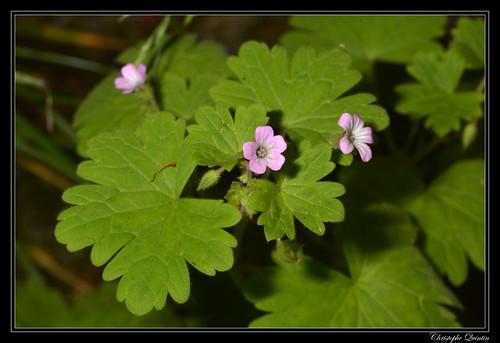 Geranium à feuilles rondes (Geranium rotundifolium)
