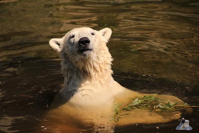 Eisbär Fiete im Zoo Rostock 04.06.2016   0117