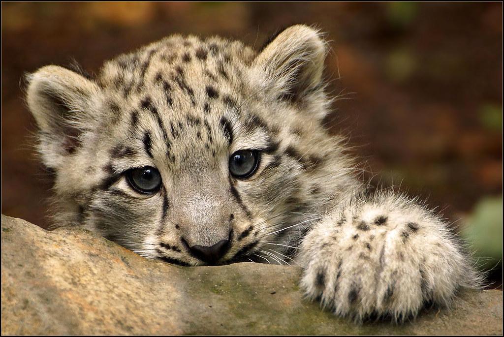 Baby White Snow Leopard Portrait Baby Snow Leopard