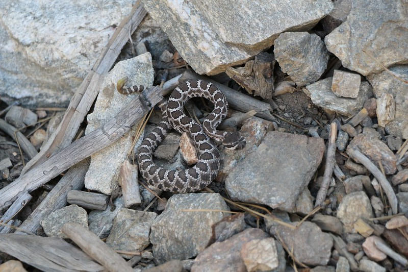 We discovered a baby rattlesnake on the Momyer Trail at 7000 feet - only 12 inches long