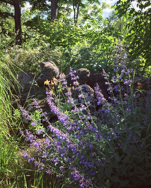 Catmint blooming. This stuff is awesome. The deer and woodchucks leave it alone and it does well in sun and part shade. A positively divide-and-thrive plant. I'm going to put this stuff everywhere. #catmint #nepeta #gardening