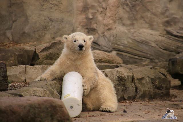 Eisbär Lili im Zoo am Meer 15.05.2016  65