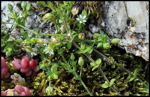 Arenaria serpillyfolia (2)