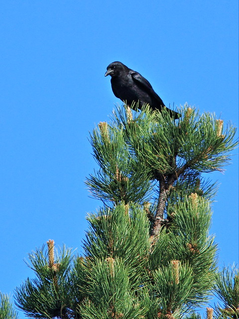American Crow 20160612