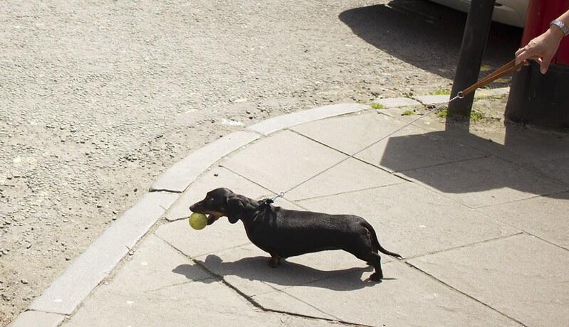 glasgow, visit glasgow, things to do in glasgow, scotland, travel, travel blog, glasgow blog, dachsund, dachsund holding ball, funny dog, dachsund dog