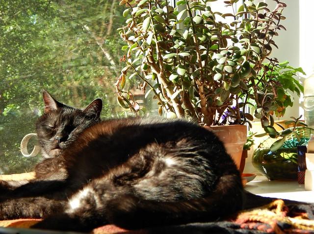 черный кот Муся дремлет на солнце на подоконнике | horoshogromko.ru
